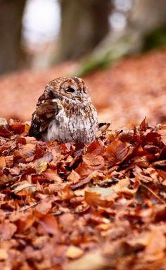 Owl in Autumn....
