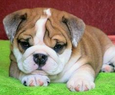 mini english bulldog