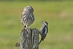 Great Spotted Woodpecker (Dendrocopos major) Little Owl (Athene noctua) | Flickr - Photo Sharing!