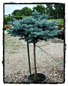 Weeping Norway Spruce Picea Abies 39 Pendula 39 Great