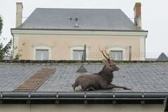A deer is seen stuck on the roof of a garage in Verneuil-sur-Indre, France.