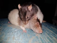 I miss you both  #aww #cute #rat #cuterats #ratsofpinterest #cuddle #fluffy #animals #pets #bestfriend #ittssofluffy #boopthesnoot