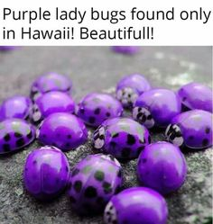Purple Lady Beetles