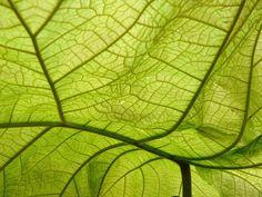 http://view.stern.de/de/original/2340064/Blatt-Blattstruktur-Blattgruen-Blattwerk-leafs-leaf-structure.jpg