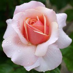 'Sue Hipkin' | Hybrid Tea rose. United Kingdom, Harkness-1997
