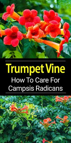 Trumpet vine, Campsis Radicans a fast, easy growing perennial vine. Trumpet creeper vines with care and pruning, can be kept under control. [LEARN MORE]