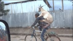 Yup. | If You've Never Seen A Goat Riding A Guy Riding A Bike Then You Haven't Lived