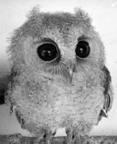 Baby owl, reminds me of my lil boy. So cute and wide eyed.