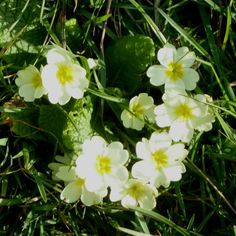 Just 'cos. Primroses, Cos, Instagram Feed, Stitch Patterns, My Design, Wildlife, Lace, Lace Making
