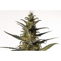 Candida Feminized Seeds from Medical Marijuana Genetics now at SeedSupreme. Buy this Indica / Sativa strain with Minimum THC levels and Very High Fruit, Plants, Planters, Plant, Planting