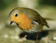 "Emily Clark on Twitter: ""#LouieRobin sunshine! #Bird #Photography #Nature #Wildlife #Robins #Friend https://t.co/SG4NO1GsLW"""