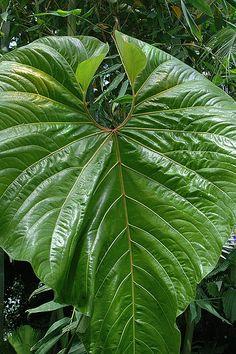 Anthurium giganteum