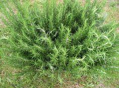 Rosemary ~ easy to grow :-)