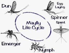 Cycle Life Mayfly Fly Patterns | Fly fishing / Fly tying Fly Bait, Fishing Bait, Bass Fishing, Aquatic Insects, Inspiring Tattoos, Mayfly, Fly Shop, Fly Tying, Life Cycles