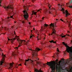 Buy Heuchera 'Cherry Cola' (Coral Bells) online from Jacksons Nurseries.