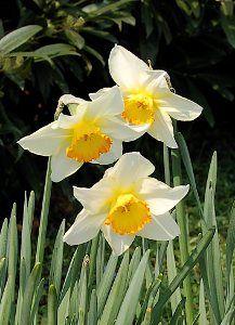 Fleur narcisse sur pinterest jonquilles tulipe et gla euls for Savoir jardiner