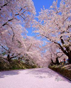 Cherry Blossom, Aomori, Japan CherryPetals #花筏
