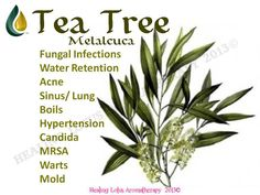 Tea Tree (Melalcuca)  Anybody interested in purchasing the oils or learning more can email me at mailto:info@allab... Or follow us on FB: www.facebook.com/allaboutumassage  Distributor: All About U Massage #1368262