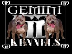 Best XL Bully Pitbulls for sale