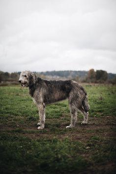 """Finn, Irish Wolfhound, 7 years old. Marymoor Park, Washington. """""""