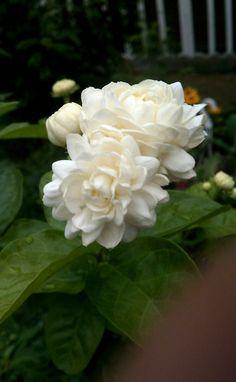 The grand duke of Tuscany jasmine. Evergreen. Likes moist feet and shade.