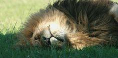 Lion lying around