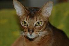 Reputable cat breeder
