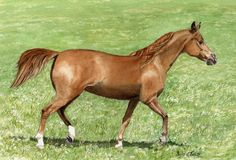 Chestnut. A  watercolour by Sylvia Twiss