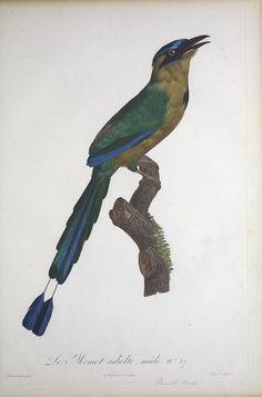 t.1 - Histoire naturelle des oiseaux de paradis et des rolliers : - Biodiversity Heritage Library
