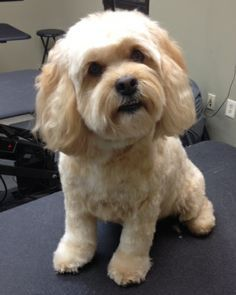cockapoo grooming before and after - Google Search                              …