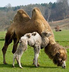 Mama and Baby Camel