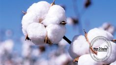 Cotton on MCX settled up by 1.52% at 19310 due to pickup in demand from domestic mills in the spot market.