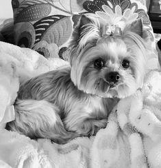 Black & White Yorkie. Zoe - Tiny Yorkshire Terrier