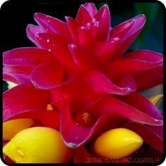 Costus barbutus in bloom