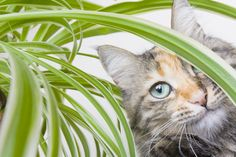 To prevent cats from damaging your indoor plants, there are solutions. Here are some natural repellents to keep your kitty beautiful houseplants.