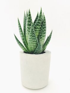 Fresh Live Aloe Vera Soothing Medicinal Potted House Plant 15-20cm