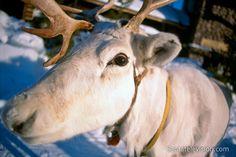 Rena em Rovaniemi na Lapônia na Finlândia