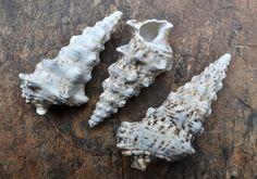 Knobby Cerithium Seashells 3 pcs.