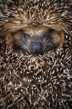 Cuddly hedgehog!!