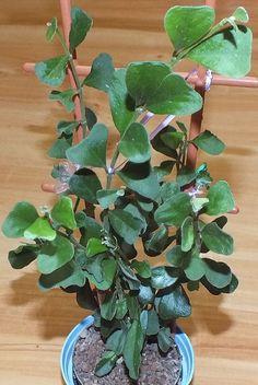 Hoya manipurensis