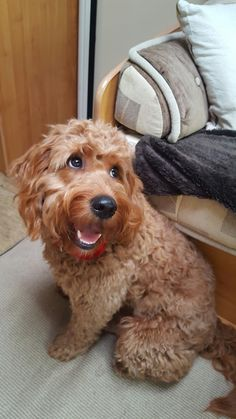Poodles are highly sociable breeds because they can interact positively with humans and other animals. Mini Goldendoodle, Cockapoo, I Love Dogs, Puppy Love, Cute Puppies, Cute Dogs, Cutest Dog Ever, Doodle Dog, Dog Mixes