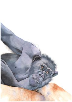 Chimpanzee print of watercolour painting C3515 A4 by LouiseDeMasi