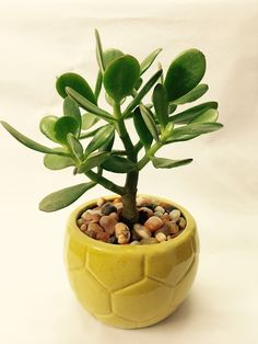Jade Plant Care (Crassula ovata) #succulent #sublimesucculents #succulove