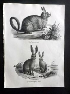 Schinz 1845 Antique Print. Rabbits 36