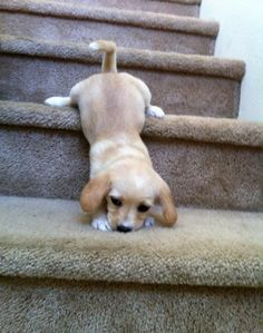 Little cute puppy try to go down from stairs