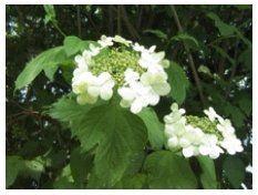 guelder rose invasive species