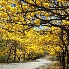 Jardin Natural todas las Primaveras... San Juan de los Morros Vzla. Araguaney arbol Nacional