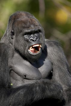 Great Pictures Of Gorillas Even Though May Look Like Monkeys They Are Different For Several