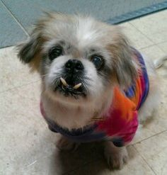 Ellie Mae is an adoptable Pekingese Dog in Springfield, OH. Ellie Maeis afun9 yr old female shih tzu/pekemix. She is a spunky and sassy little girl who has the sweetest heart and a beautiful smil...