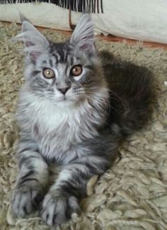 Stunning, silver tabby male maine coon from http://www ...